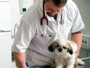 Can I give my Shih Tzu human medications