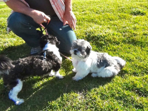 How to train Shih Tzu
