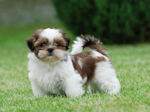 Schnauzer and Shih Tzu mix size lifespan and temperament