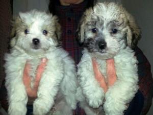 Shih Tzu cross toy poodle
