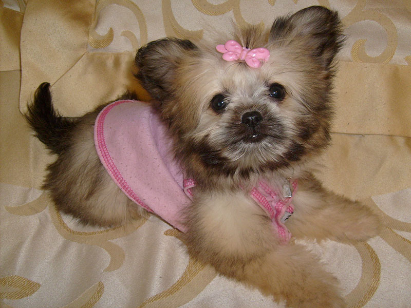 Shih Tzu mixed with Chihuahua
