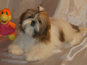 Are Shih Tzu hard to potty train