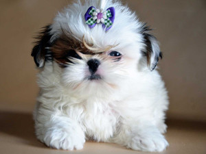Can i give my Shih Tzu benadryl