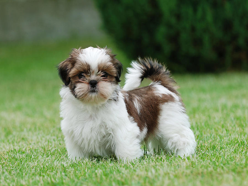 Diarrhea in Shih Tzu puppys