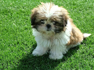 How to potty train a Shih Tzu puppy