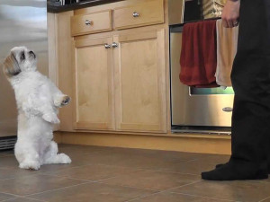 How to stop my Shih Tzu from barking