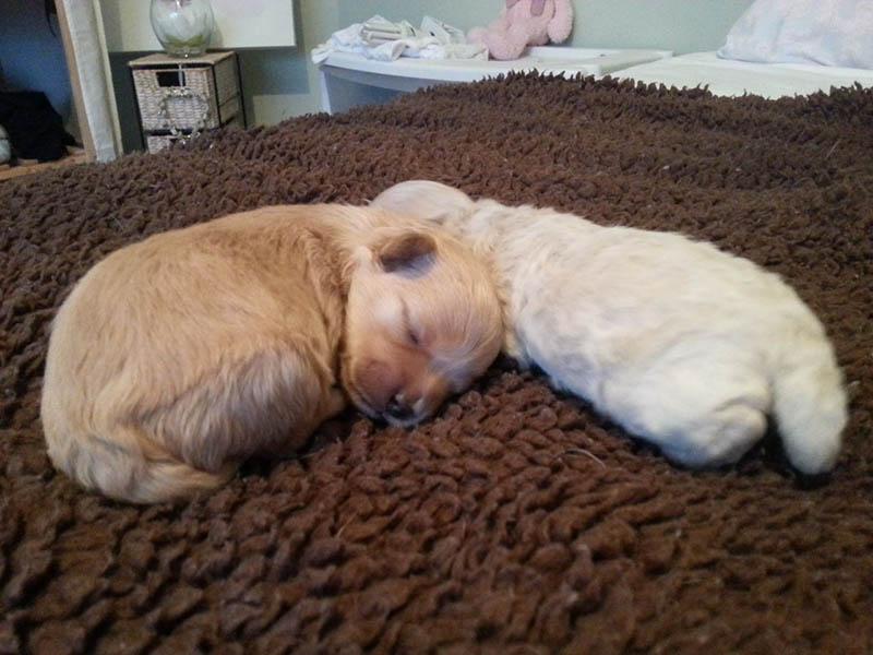 Maltese Shih Tzu x toy poodle