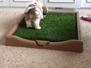 Potty training Shih Tzu litter box