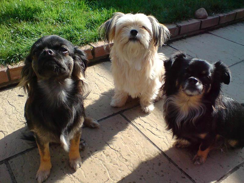 Information About Dog Breed Shichi Chihuahua X Shih Tzu
