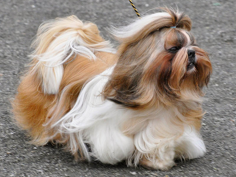 Causes Of Diarrhea Shih Tzu And What Can I Give For It