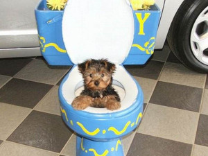 Shih Tzu potty training problems
