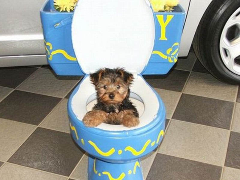 Shih tzu potty training problems 1001doggycom for Dog potty training problems