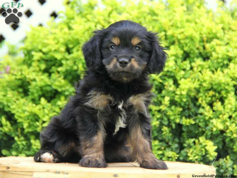 Shih Tzu schnauzer mix puppies