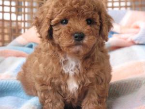 Shih Tzu toy poodle