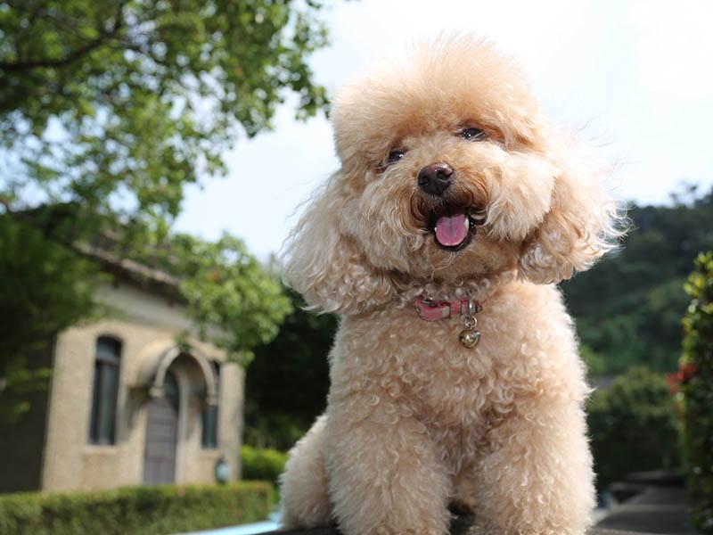 Shih Tzu toy poodle mix