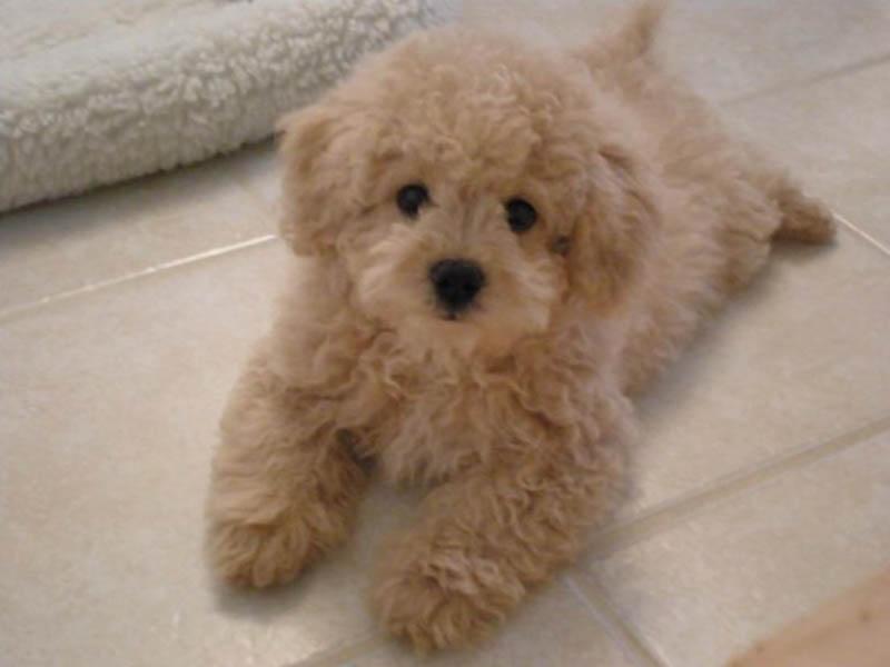 Shih Tzu x toy poodle
