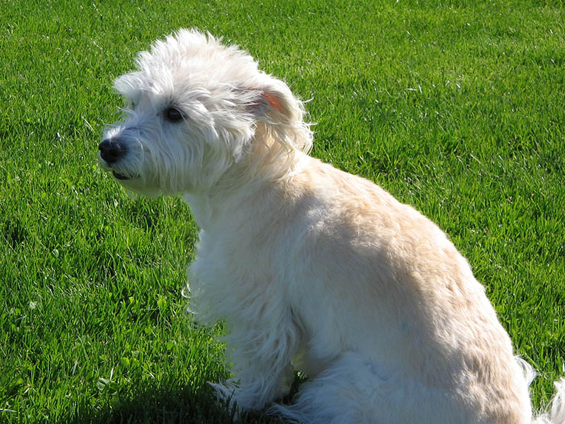 Small Dog Breed No More Than  Punds