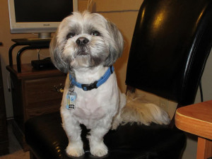 Bone cancer in Shih Tzu