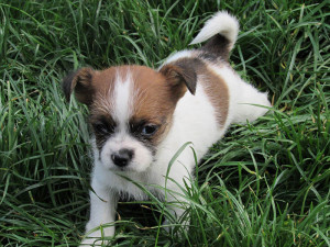 Boston Shih Tzu