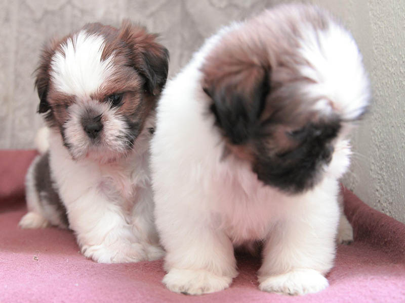 Boston Shih Tzu mix