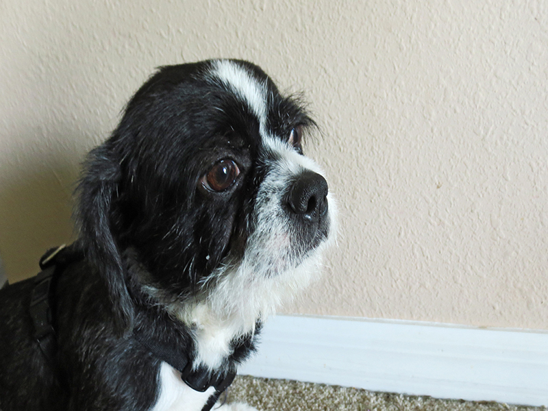 Boston terrier cross Shih Tzu