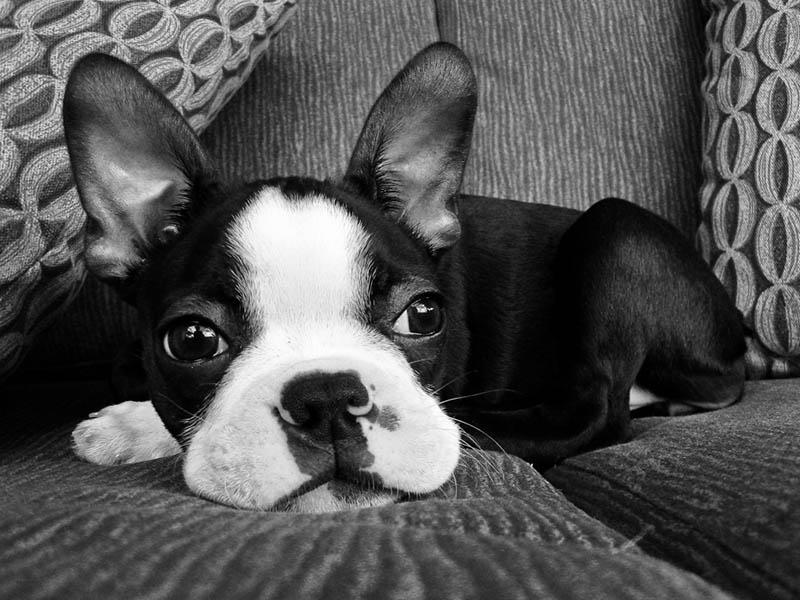 boston terrier shih tzu mix 1001doggycom