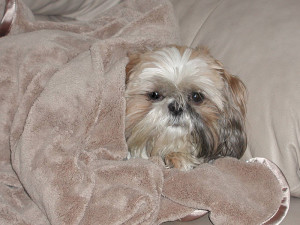 Do Shih Tzu get cancer