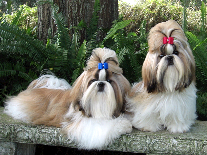 Dog names for female Shih Tzu puppies