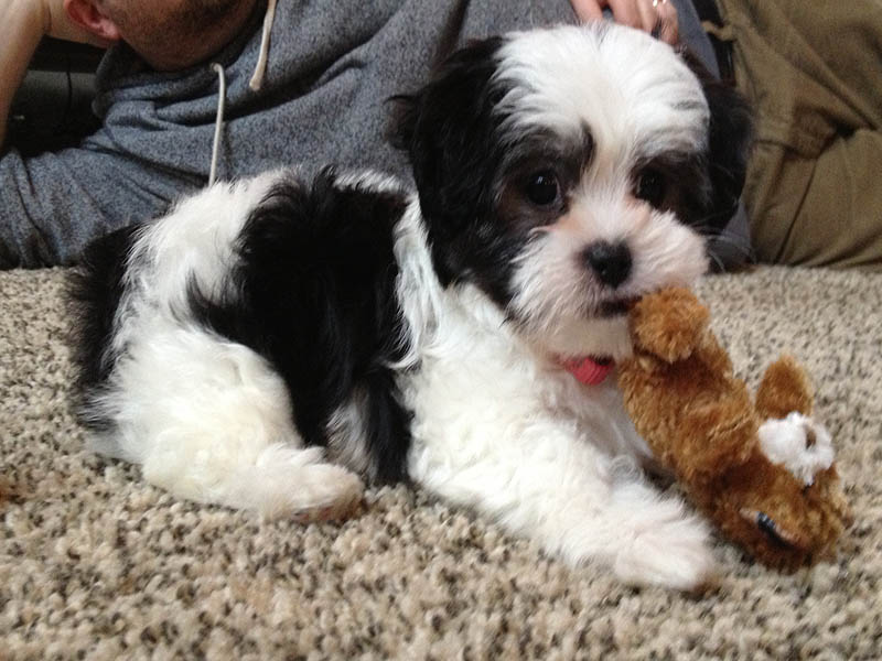Best Dog Names Shih Tzu
