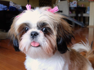 Girl Shih Tzu names