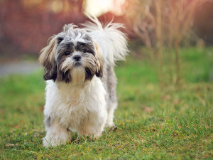 Shih Tzu cancer symptoms