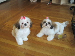 Shih Tzu spaying surgery
