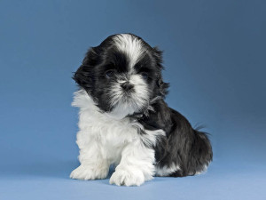 When should i spay my Shih Tzu puppy