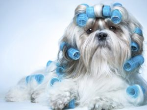 Average lifespan of a Shih Tzu