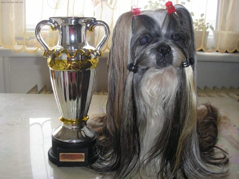 average life of a shih tzu average lifespan of shih tzu 1001doggy com 280