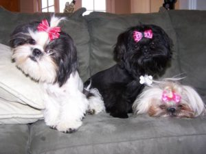 Bows for Shih Tzu hair