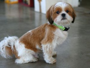Chinese imperial Shih Tzu