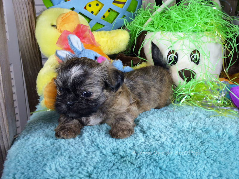 Dog Names For Female Shih Tzu Puppies 1001doggycom