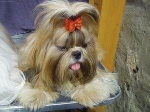 How long do Shih Tzu dogs live