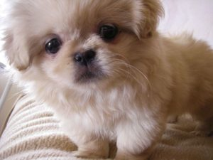How long does a Shih Tzu live