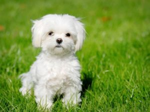 How often to bathe Shih Tzu