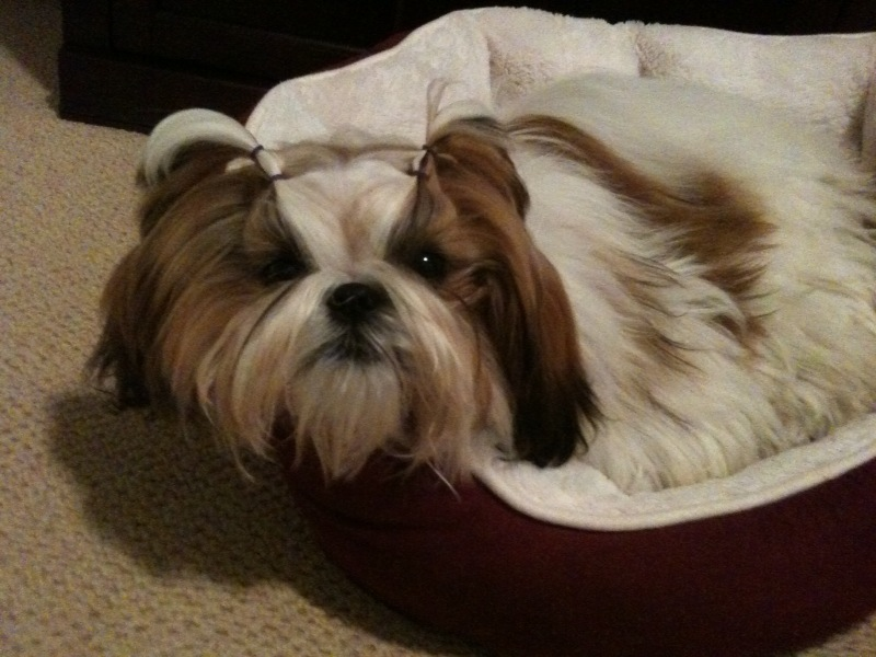 shih tzu topknot how to do a topknot on shih tzu tutorials and pictures 5239