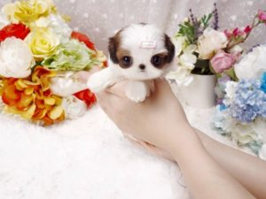 Imperial teacup Shih Tzu
