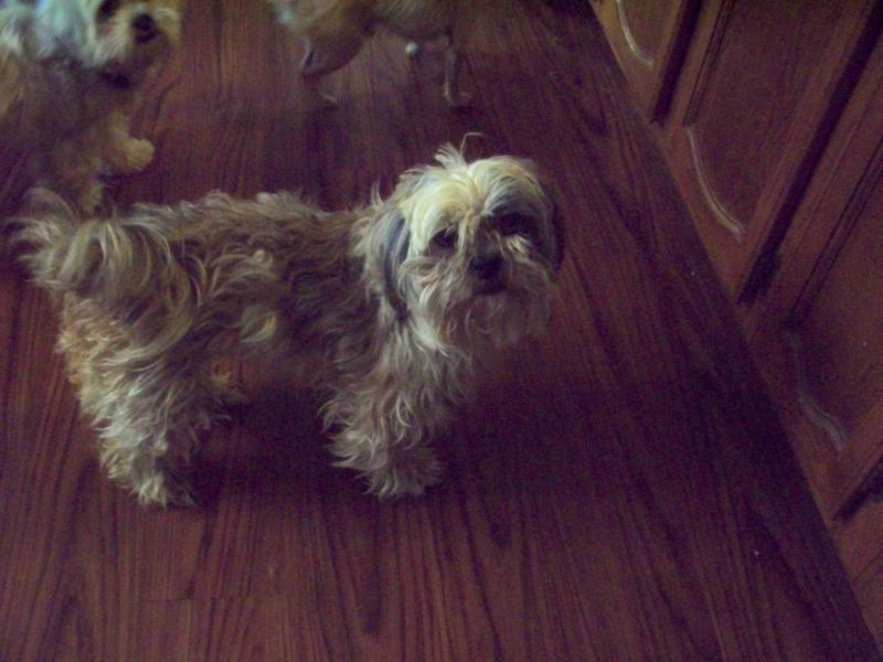 shih tzu vomiting my shih tzu is vomiting 1001doggy com 6102