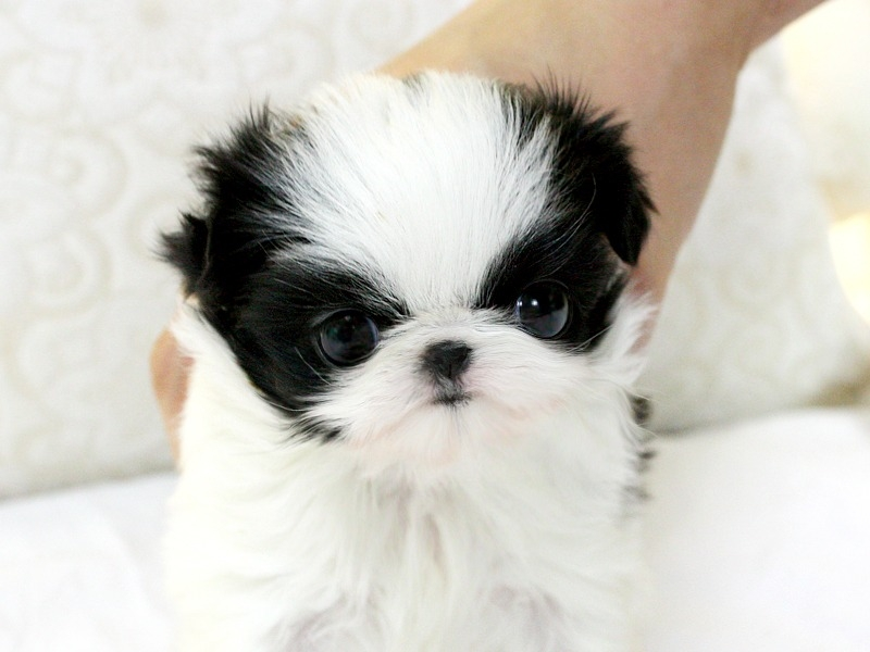 Name Of Shih Tzu Female 1001doggycom