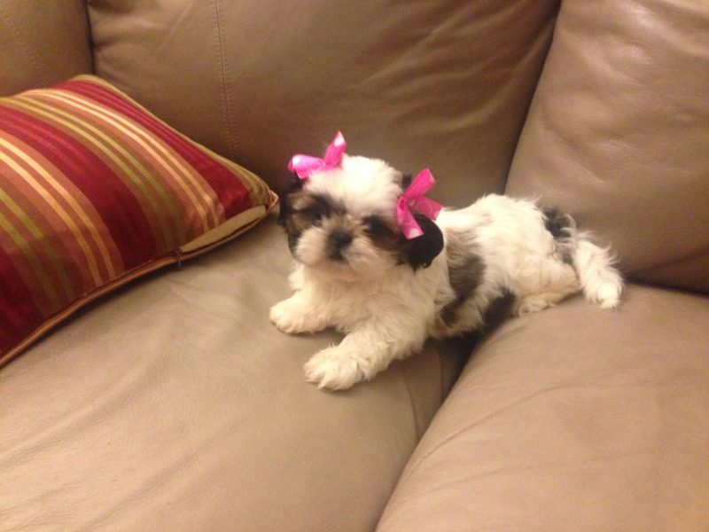 Names Of Shih Tzu Female Puppies 1001doggycom
