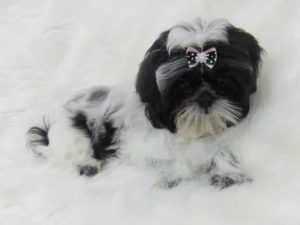 Shih Tzu bows uk