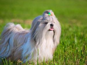 Shih Tzu dog bows