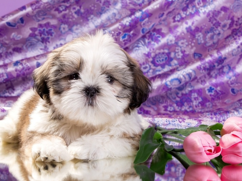 Shih Tzu puppy diet