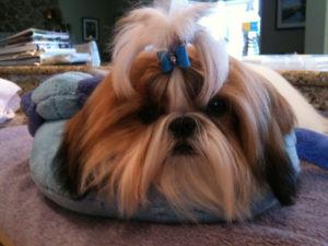 Shih Tzu puppy topknot